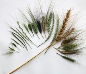 img_2334-wheat-diversity-species-fan-id
