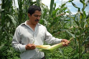 Maize scientist J. Arahón Hernández Guzmán examining a maize ear on his experimental plot of the Jala maize landrace. Photo: CIMMYT
