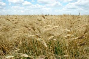 Wheat in the field in Kazakhstan