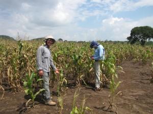 David González (izq.) inspecciona plantas de maíz para detectar síntomas de mancha de asfalto, junto con el científico de SeeD Terence Molnar (der.) en el estado de Chiapas, México.