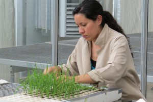La semilla se siembra en el invernadero y posteriormente se cosechan muestras que se preparan para mandarlas al laboratorio donde se realizan la extracción de ADN y el genotipeado. Foto: Carolina Sansaloni/CIMMYT