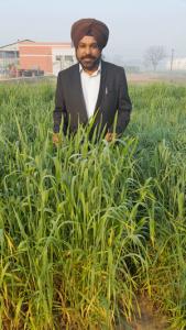 Sukhwinder Singh en un trigal de la Universidad Agrícola del Punjab, India, parte de un ensayo de evaluación de trigo criollo mexicano (al frente) y de líneas derivadas de los trigos criollos (trasfondo). Foto: Mike Listman/CIMMYT