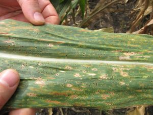 "The first stage of fungal maize disease TSC, with tiny, black ""tar spots"" covering the leaf."
