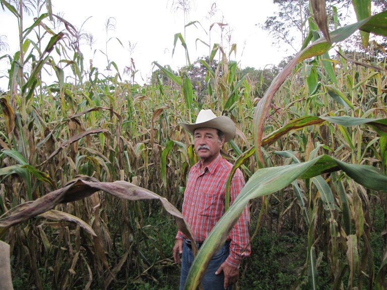 Corzo Jimenez in his maize field.