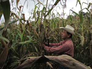 Felix Corzo Jimenez , a farmer in Chiapas, Mexico, examines one of his many maize plants infected with tar spot complex.