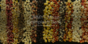 maize bank