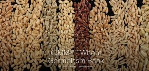 wheat slate