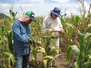 Terry Molnar, mejorador de maíz, y Enrique Rodríguez, técnico de investigación en campo, de MasAgro Biodiversidad, evalúan germoplasma puente con resistencia a la mancha de asfalto. Foto: J. Johnson/CIMMYT.