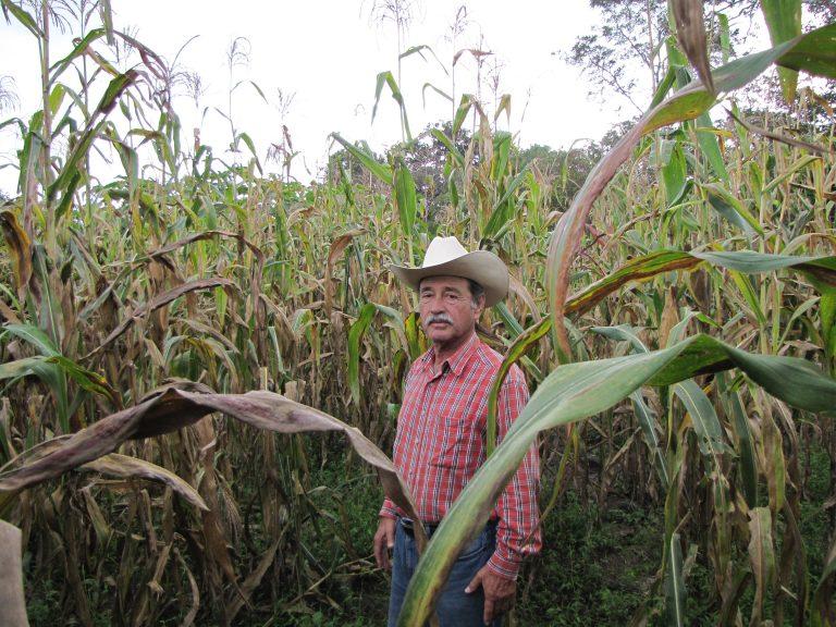 Corzo Jiménez en su parcela de maíz infectada con mancha de asfalto. Las variedades derivadas del germoplasma puente de MasAgro Biodiversidad lo ayudarán a proteger su cultivo sin tener que aplicar costosos fungicidas. Foto: CIMMYT/J. Johnson.