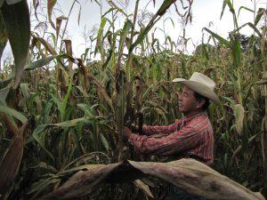 Félix Corzo Jiménez, agricultor de Chiapas, México, examina una planta de maíz infectada por el complejo de la mancha de asfalto. Foto: J. Johnson/CIMMYT.