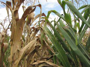 Variedad de maíz susceptible infectada por mancha de asfalto (izquierda) comparada con una planta de maíz sana de una variedad resistente e inmune a la enfermedad (derecha). Foto: J. Johnson/CIMMYT.