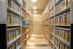 Maize collections held at the CIMMYT genebank in Mexico.