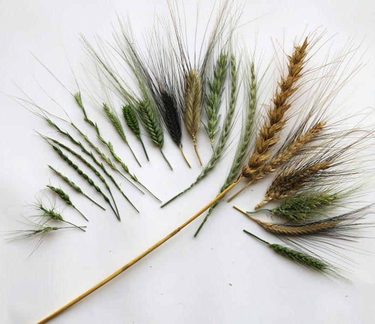 Examples of the wheat genetic diversity stored in the CIMMYT genebank.