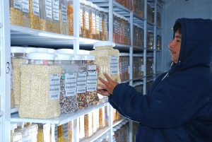 The CIMMYT maize germplasm bank holds 28,000 samples of unique maize genetic diversity that could hold the key to develop new varieties farmers need. Photo: Xochiquetzal Fonseca/CIMMYT.